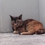 【文京区】三毛猫さんを一喝した駐車場のサビ猫さん