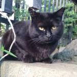 【文京区】「白山神社」のあじさいと黒猫さんたち