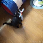 「カシャカシャびょんびょん」で遊ぶ子猫と威嚇する先住猫【トライアル2日目】