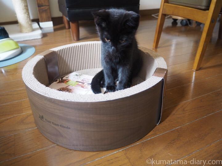 ガリガリサークルに入る子猫