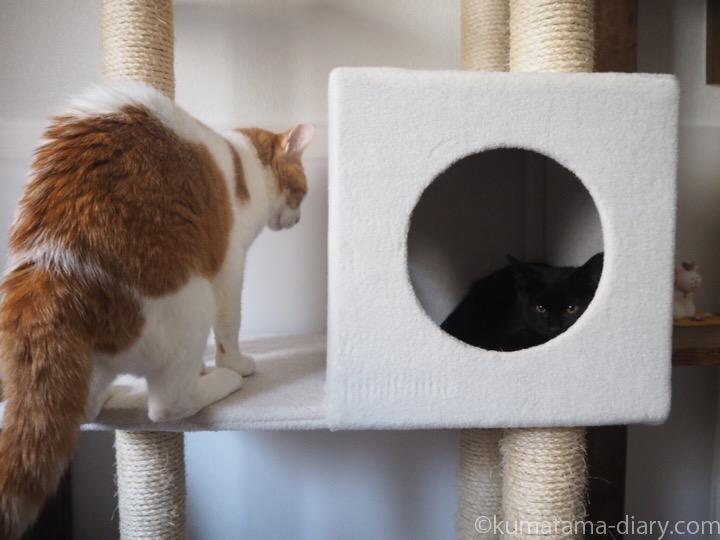 キャットタワーのボックスの子猫とたまき
