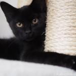 トライアル中の黒猫さんがうちの猫になりました