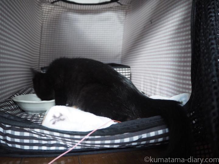 エサを食べる黒猫子猫