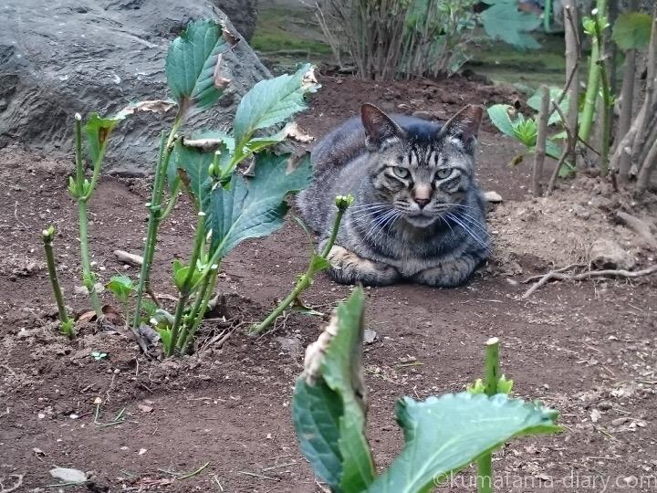 キジトラ猫さん