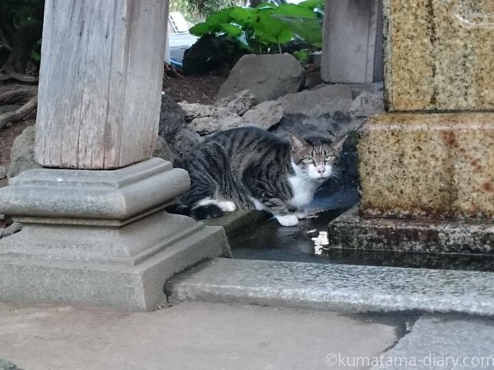 手水舎で水を飲むキジトラ白猫さん