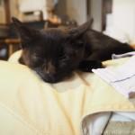 彼の膝の上で眠る子猫