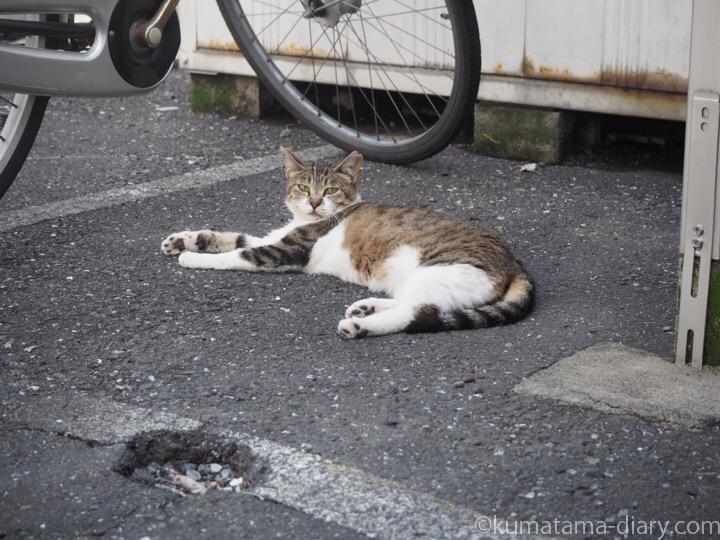 寝そべるキジトラ白猫さん