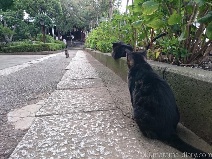 白山神社の黒猫さんとキジトラ猫さん