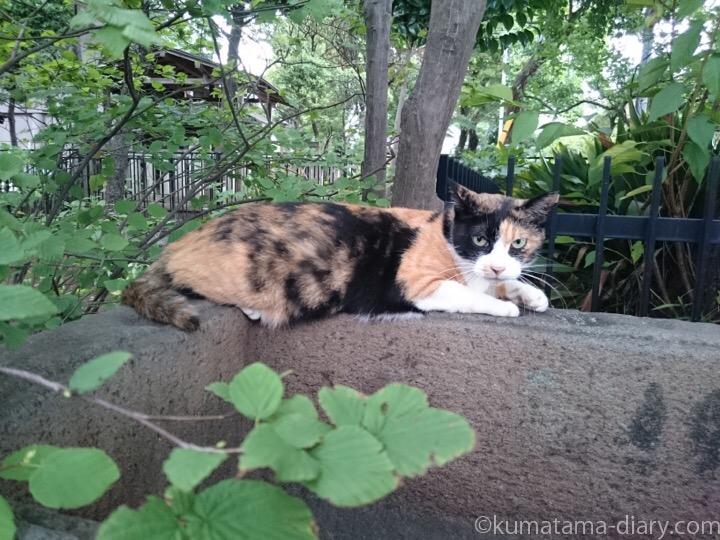 白山神社の三毛猫さん