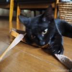 OLYMPUSのミラーレス一眼カメラ「PEN E-PL7」のストラップで遊ぶ猫