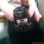 乳歯と永久歯が一緒に生えている子猫の犬歯