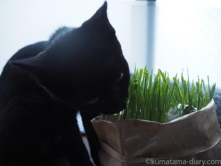 猫草を食べるふみお