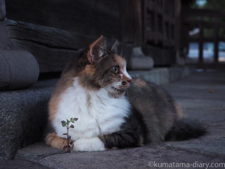 お寺の三毛猫さん