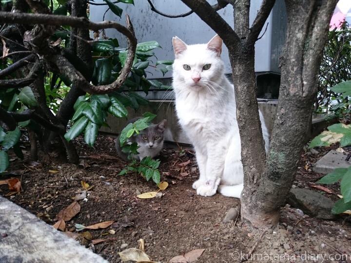 白猫さんとグレー猫さん