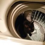 洗濯機の中に入る子猫