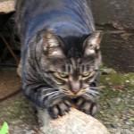 木で爪を研ぐ「白山神社」のキジトラ猫さん