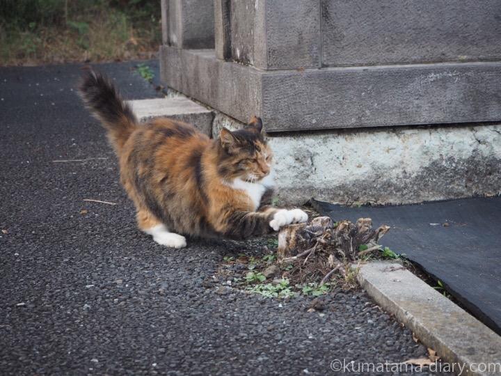爪研ぎする三毛猫さん