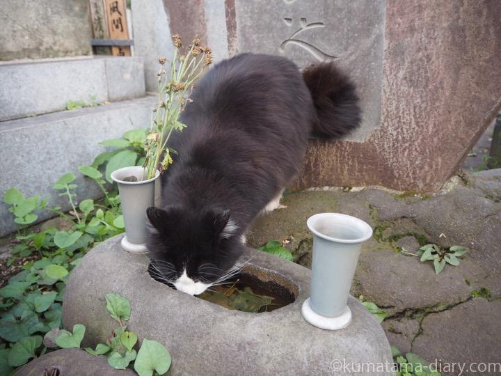 水を飲む黒白猫さん