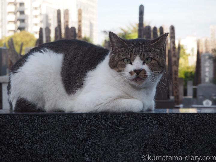 墓の上のキジトラ白猫さん