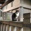 白山神社キジトラ白猫さん