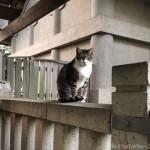 【文京区】「白山神社」の置物のようなキジトラ白猫さん