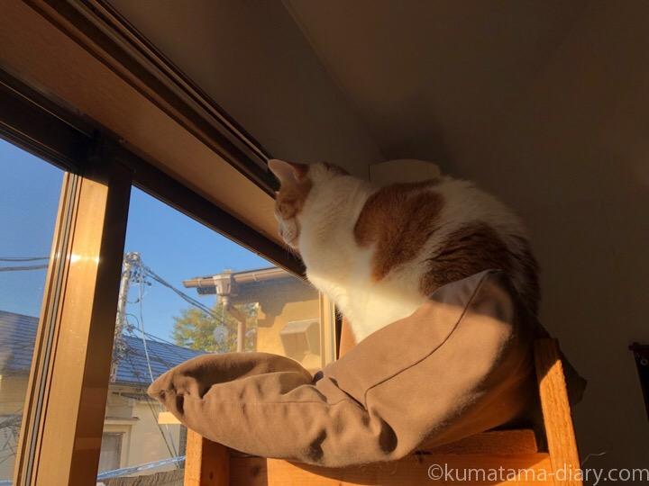 キャットタワーから外を見るたまき