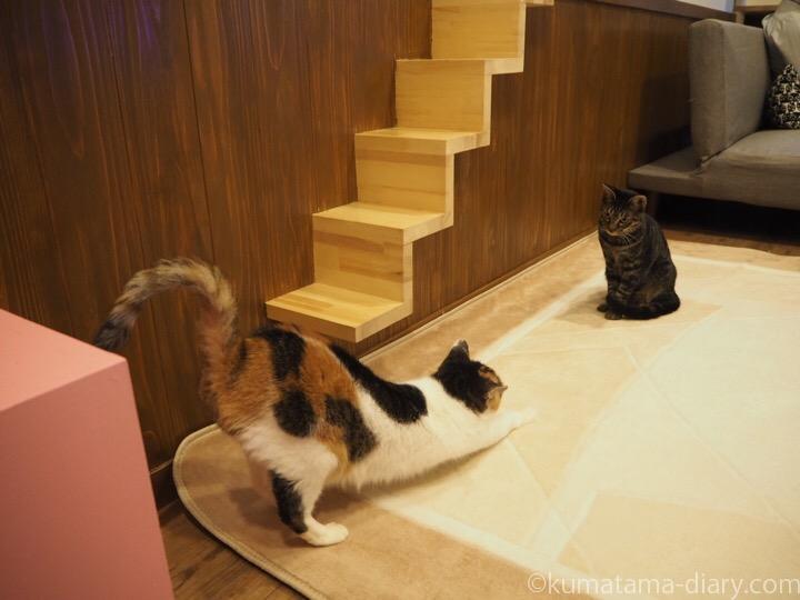 伸びる三毛猫さんとキジトラ猫さん