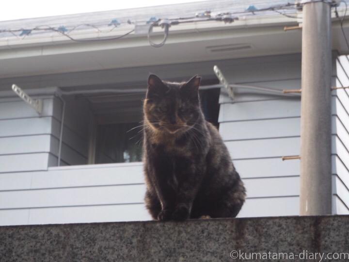 塀の上のサビ猫さん