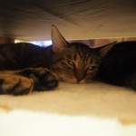 【秋葉原】「ちよだニャンとなるcafé」のソファーの下のキジトラ猫さんたち