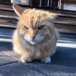 【文京区】お寺の長毛猫さん
