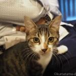 【秋葉原】「ちよだニャンとなるcafé」の人懐っこいキジトラ白猫さん