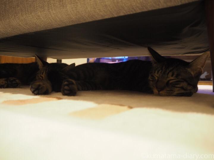 ソファーの下のキジトラ猫さんたち