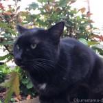 【文京区】胸元が白い「白山神社」の黒猫さん