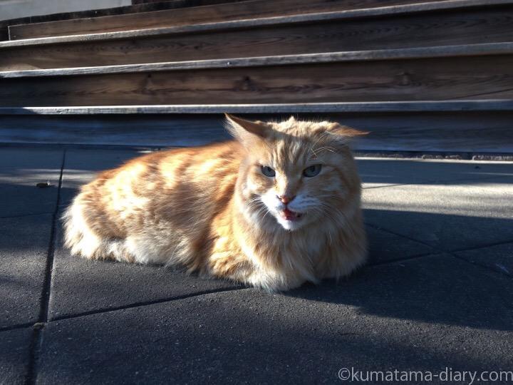 長毛茶トラ猫さん