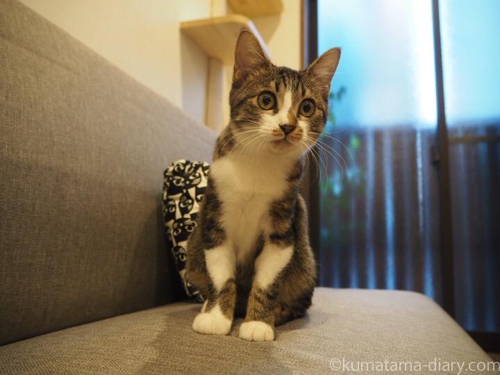 キジトラ白猫のはなちゃん