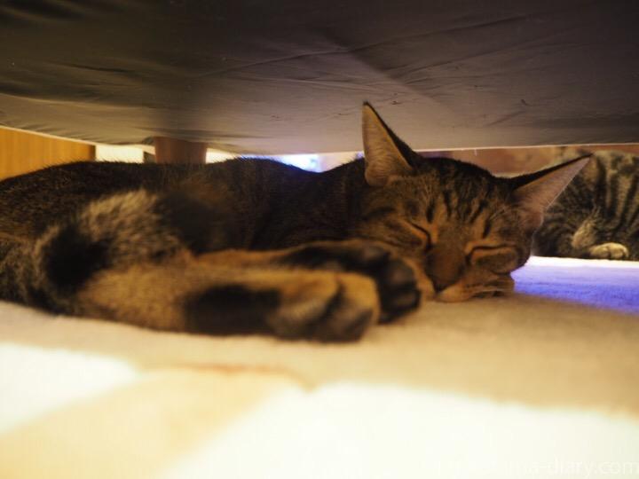 ソファーの下のキジトラ猫さん