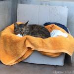 段ボールのベッドで寝るキジトラ猫さん