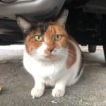【文京区】駐車場の車の下にいた三毛猫さん