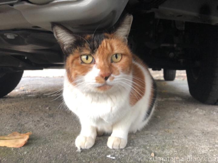 車の下の三毛猫さん
