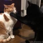 子猫のパンチに耐える先住猫