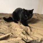 ベッドの上で猫じゃらしに飛びつく子猫