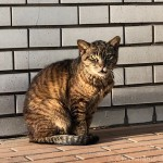 近所のワイルドなキジトラ猫さん