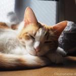 出窓で「3月のライオンでっかいブンちゃんぬいぐるみ」と寝る猫