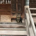 【文京区】拝殿にいる「白山神社」のキジトラ猫さん