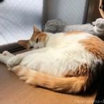 出窓で先住猫と一緒に寝たがる子猫