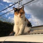 【文京区】駐車場の車の上の三毛猫さん
