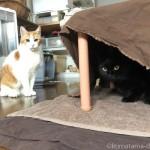 「ペットの夢こたつ」の中と外でやりあう猫たち
