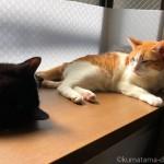 出窓で先住猫のしっぽに触る子猫