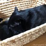かごの中で「幸せのインナーねこ」をふみふみする子猫