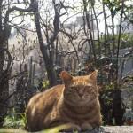 【文京区】吉祥寺の桜と猫さん